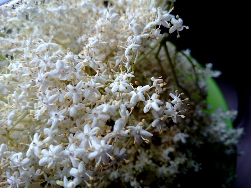 syrop z bzu - kwiaty